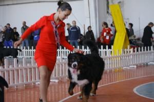 Хендлинг с Бернско пастирско куче