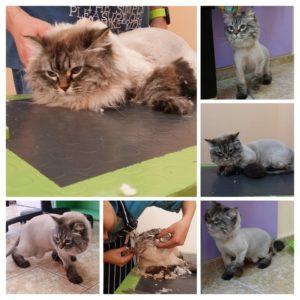 Подстригване на невска маскарадна котка