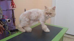 Подстригване на персийска котка - Нерон