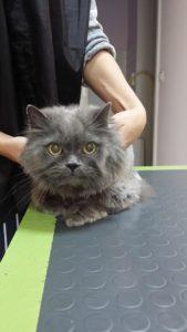 Подстригване на едно сиво котараче - Борис