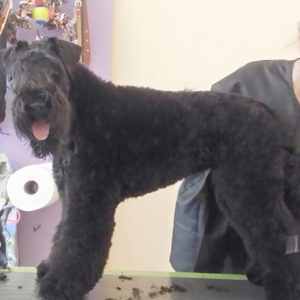 Kerry blue terrier - Arthur