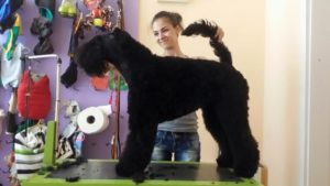 Kerry blue terrier - Arthur1