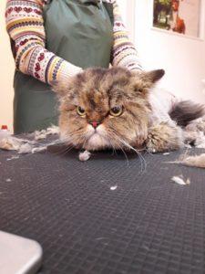 Подстригване на котки много съм ядосан