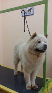 Подстригване на кучета Чау-чау