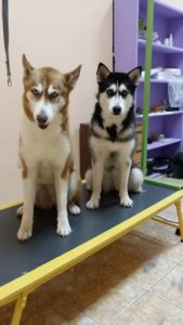 Подстригване на кучета хъскита Рила и Алгара