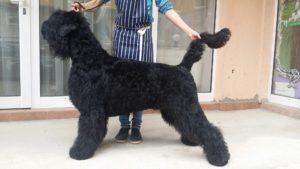 Подстригване на кучета Bloody