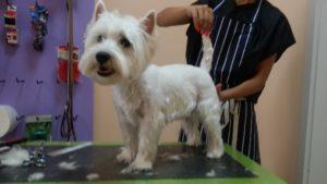 Подстригване на кучета Уест Хайленд Уайт Териер