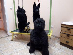 Подстригване на кучета Тюра и компания