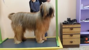 Подстригване на кучета Бриар