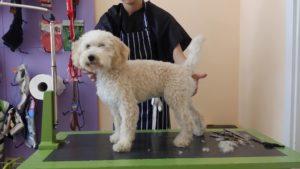 Подстригване на кучета Лагото Романьоло